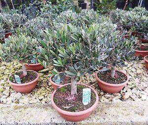 Pianta di ulivo bonsai in ciotola ebay for Bonsai di ulivo