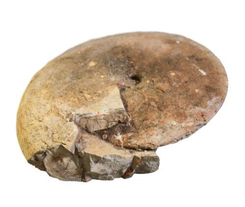 "Large Fossilized Ammonite Shell 16"" diameter"