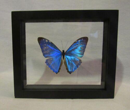 Framed large size colorful Amazonian butterfly - Morpho Zephyritis - free ship!