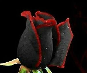 Black Rose Flower with Red Edge Seedling 100 SEEDS --BUY 4 ITEMS FREE SHIPPING