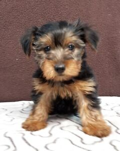 Yorkshire Terrier puppies for pet homes
