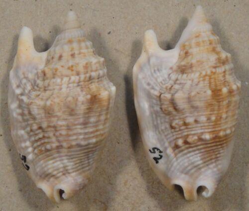 Strombus Aurisdianae 2 Shells 41 + 42mm West Pacific