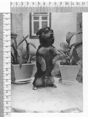 PHOTO BW DOG SMART Training Dog Tricks Stands Up On Begging on Hind Legs