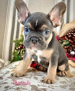 French Bulldog Purebred Blue Tan Puppies