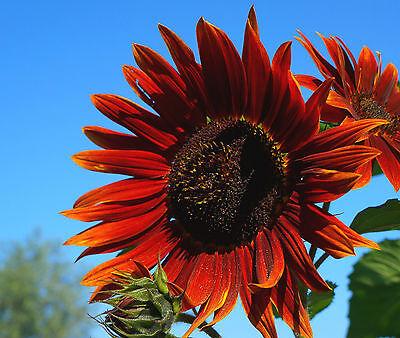 Sonnenblume 20 Samen (20 Samen Rote Sonnenblume Crimson Queen)