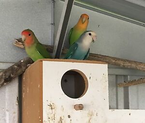Indian ringnecks parrot and love birds Mickleham Hume Area Preview