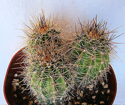( CARNEGIEA GIGANTEA SAGUARO CACTUS APRX. 3-5 INCHES ONE (1) SEED GROWN PLANT)