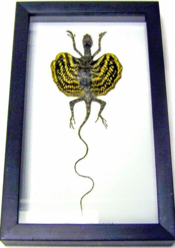 REAL YELLOW FLYING LIZARD DRACO TAXIDERMY  SHADOWBOX FRAME