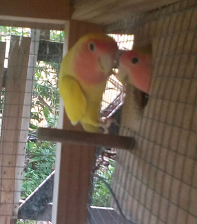 Aviary lovebirds for breeding or pets