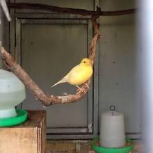 male canary Bundamba Ipswich City Preview