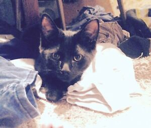 FREE KITTEN LOOKING FOR FOREVER HOME