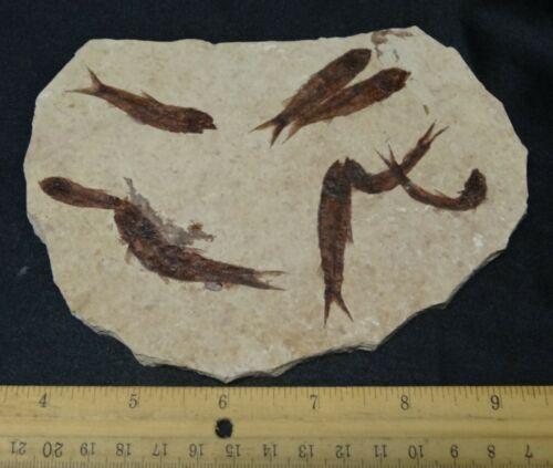 Stonez-N-Bonez Knightia eocaena Mortality Plate Green River  (56-33mya) FF26