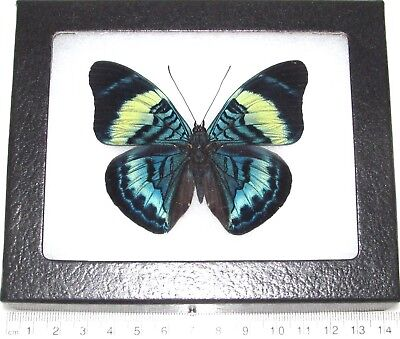 REAL FRAMED BUTTERFLY BLUE PANACEA PROLA PERU ()