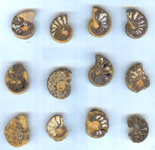 #6 All Natural Sliced Ammonites For Jewelry - Saraha Desert - Twelve (12) Pieces