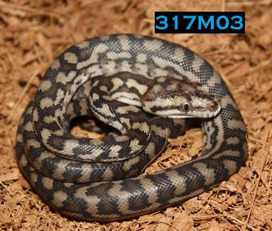 Gammon Ranges Carpet Python Hatchlings (PLEASE READ ENTIRE AD)
