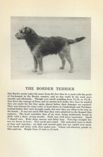 Border Terrier - 1931 Vintage Dog Print - Breed Description - MATTED
