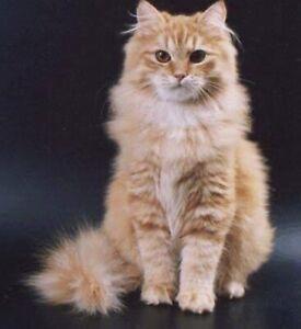 Siberian Kittens Cats Kittens Gumtree Australia Free Local Classifieds