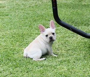 French Bulldog puppies and adult Cream Blue DNA Tested