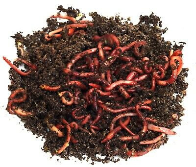  2000 COMPOSTING WORMS  RED WIGGLERS  Mite Free! LIVE DELIVERY GUARANTEE!!