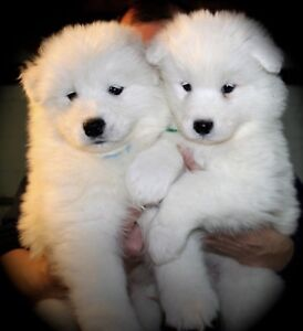 Samoyed puppies need families! SOLD
