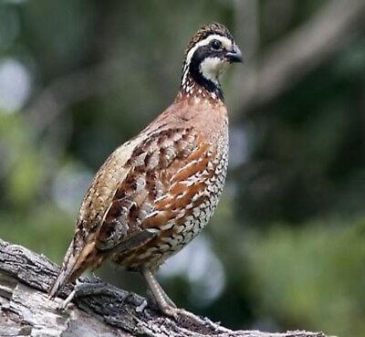 12 Superior Yield Northern Bobwhite Quail Eggs Hatching Fertile Conservation