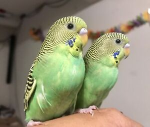⭐Baby Budgies with Cage⭐
