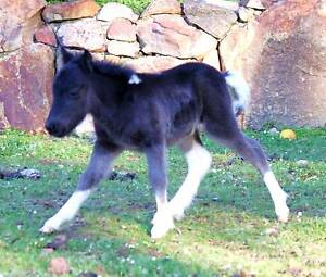 Black and White PINTO MINIATURE BABY HORSE $125 PLAN A WEEK Margaret River Margaret River Area Preview