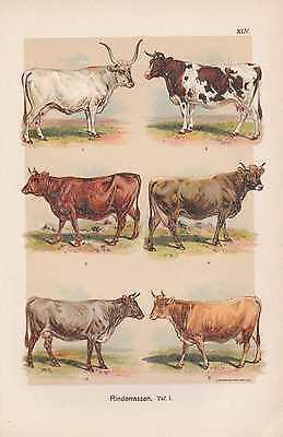 Rinderrassen Oldenburger Tiroler CHROMOLITHOGRAPHIE um 1900 Rinder