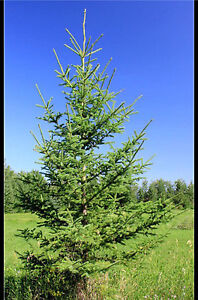 4-6 ft Spruce Trees