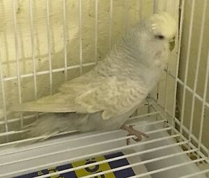 English Budgie for Sale $10