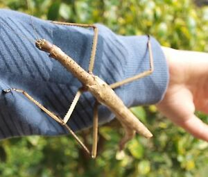 Stick Insects Phasmids - Wolflings Killara Ku-ring-gai Area Preview