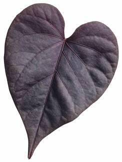 Black Heart Sweet Potato Plant