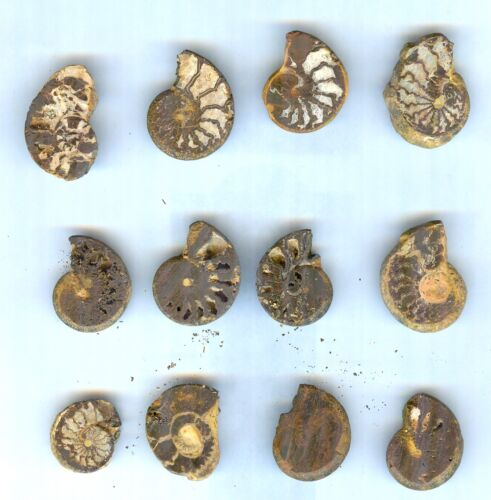 #7 All Natural Sliced Ammonites For Jewelry - Saraha Desert - Twelve (12) Pieces