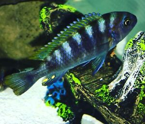Variety of Mbuna Babies **50% OFF list prices!!**