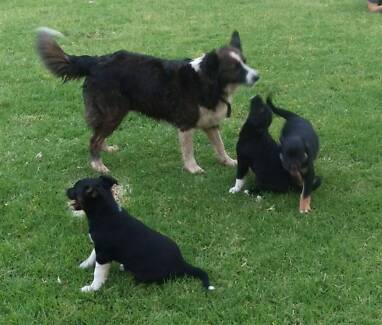 Border Collie/Australian Shepherd x Black Kelpie Puppies Kapunda Gawler Area Preview