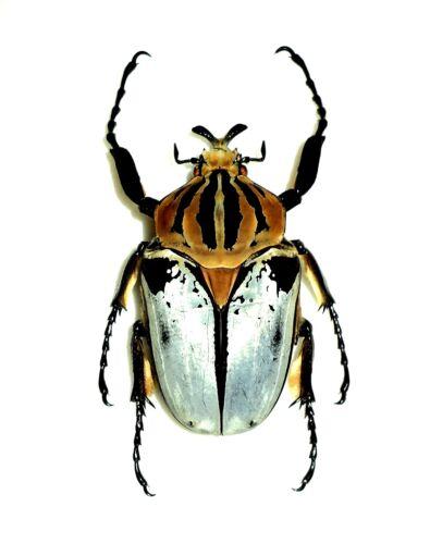 Cetoniinae: GOLIATHUS CACICUS MALE. Cote d