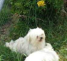 Maltese with pedigree papers, Adalt female Lithgow Lithgow Area Preview