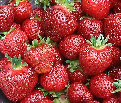 Erdbeerpflanzen Senga Sengana 25 Frigo Pflanzen  € 12,95 Angebot