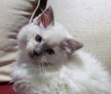 Purebred Ragdoll Kitten from Registered Breeder Werrington County Penrith Area Preview