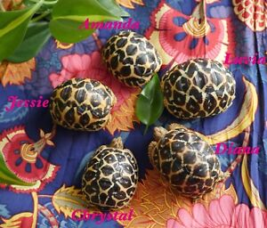 Female Indian Star Tortoises