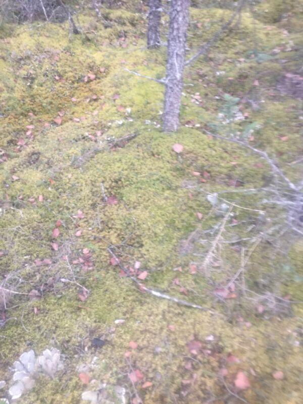 Live Moss, fresh from Possum Creek Camp, Talkeetna Alaska!