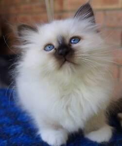 Birman Pure Bred Kittens Margate Kingborough Area Preview