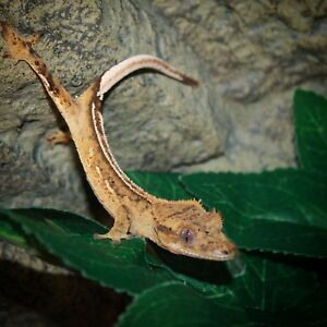 Juvenile female crested gecko
