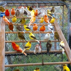 Singing canaries from $ 20 each Rowville Knox Area Preview