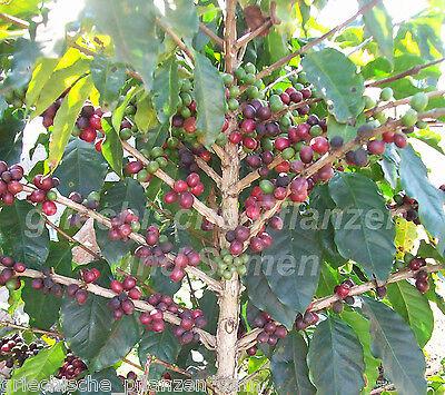 Coffea Arabica 5 samen pianta del caffè FANTASTICA kübelpflanze mehrjärig Exot