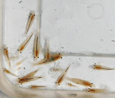 Brown shrimps (light brown) for sale 5 pcs for $12.5 Beverly Hills Hurstville Area Preview