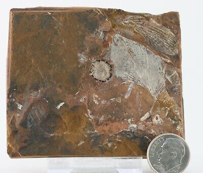 Fossil Plant Seed Cyclocarya, GInkgo Both Sides Plate Paleocene North Dakota COA