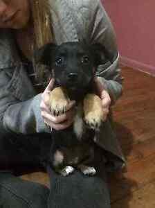 Puppies for sale Cabramatta Fairfield Area Preview