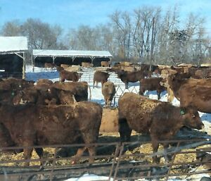 Herd reduction sale Virden