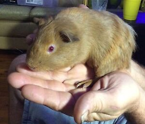 Baby Boy 5 weeks all brown Guinea pig Caboolture South Caboolture Area Preview